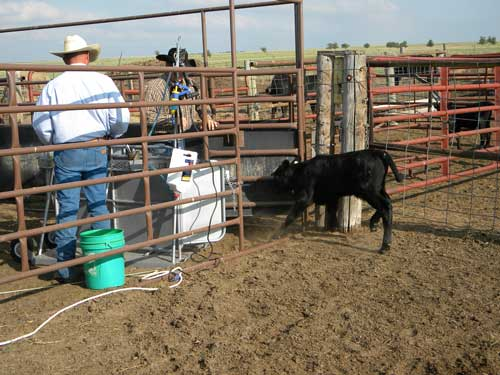 The calf is released into a adjoining pen. Throughout the entire process, the calf remains standing, which helps in keeping the calf calm.