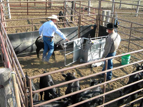 After cows are sorted off, one person can guide a baby calf into the chute working area.