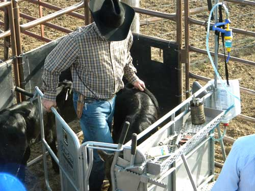 The calf is eased into the head gate of the John-Ease Small Calf Chute.